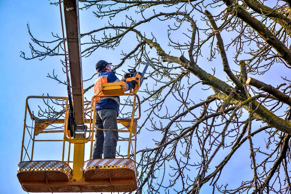 trimming-of-large-oak-tree-with-cherry-picker