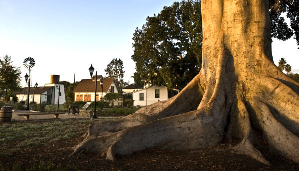 Large historic tree in Anaheim CA