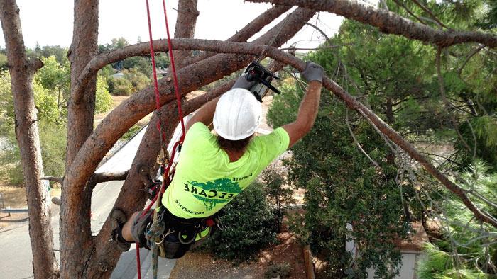 Arborist trims tree fremont California