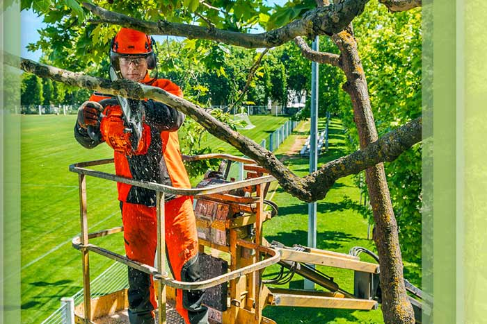 certified arborist trimming a tree