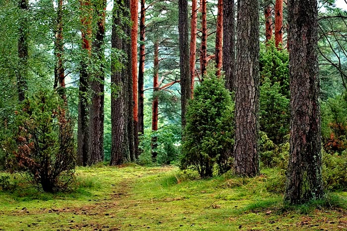 forest of softwood trees