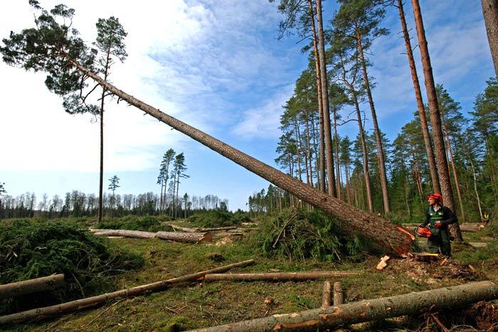logger cutting down pine tree
