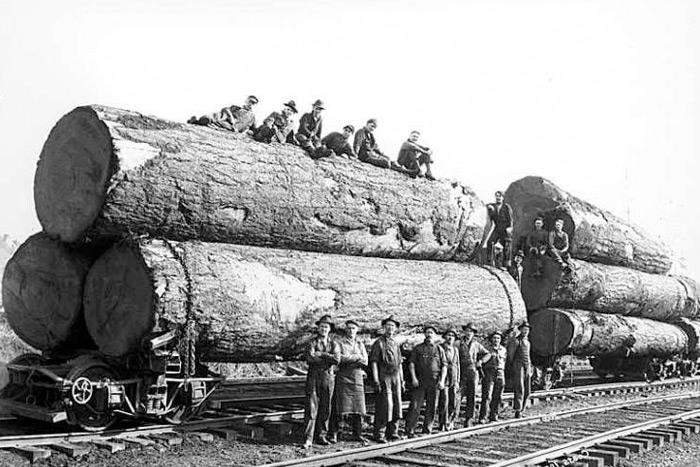 logging trees in 1920