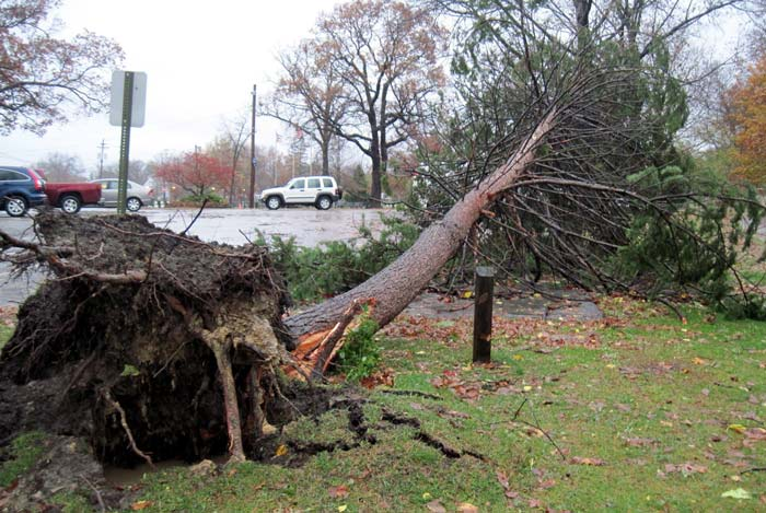 uprooted large tree