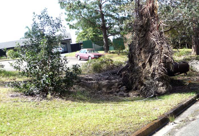 uprooted tree stump