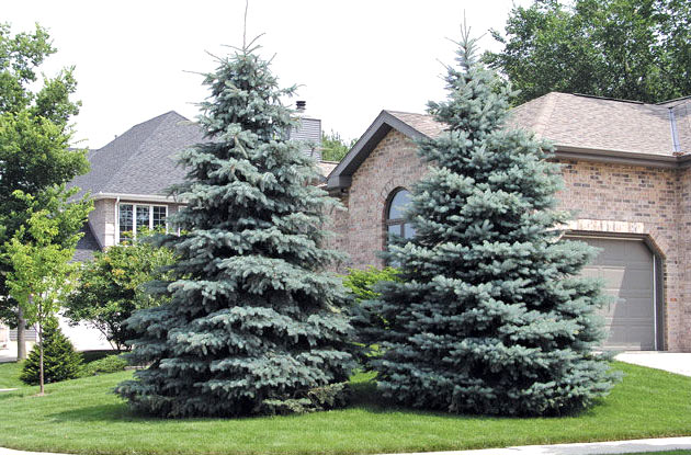 blue spruce summer trim