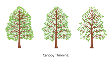 canopy thinning3fullcolor450x224