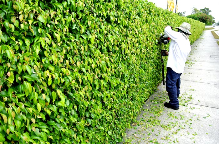 hedge maintenance company