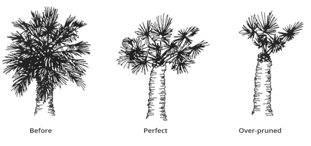 how much should be trimmed from palm trees2