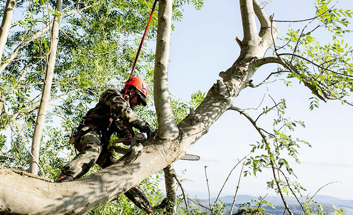 tree surgeon near me trimming tree