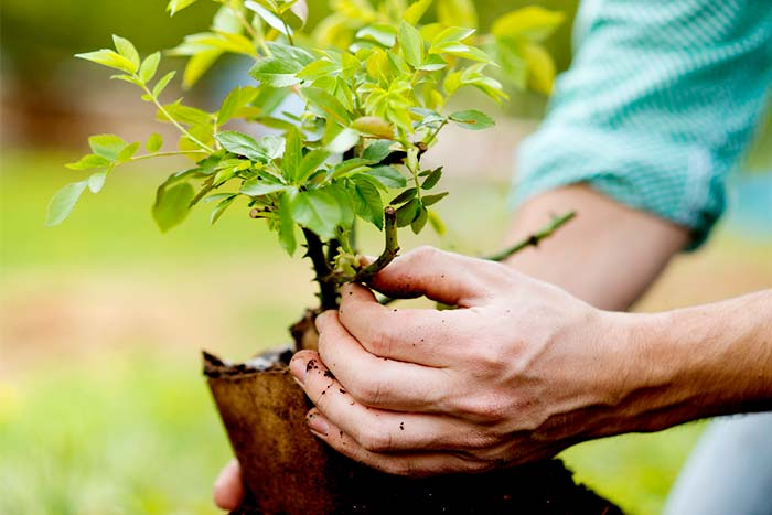 Can small trees be planted close to a home little tree