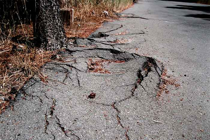 Can tree roots break concrete broken concrete