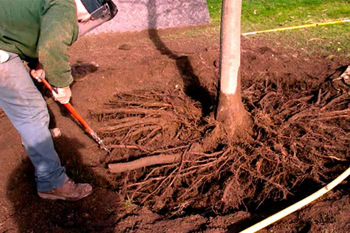 Can-you-trim-tree-roots-man-remove-roots
