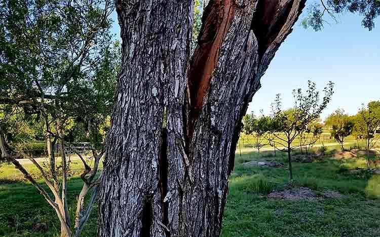 Can you repair a split tree trunk