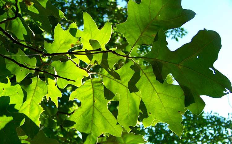 Do I need a permit to trim an oak tree leaves