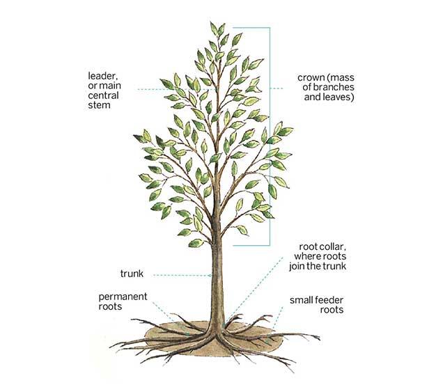 anatomy of a tree