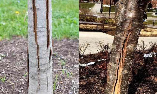 cracking splitting bark on tree examples