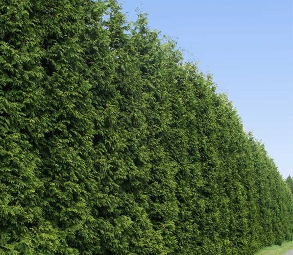 laylandii cypress tree for privacy