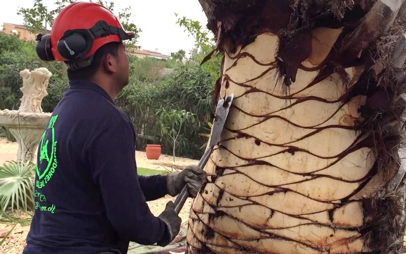 skinning a palm tree