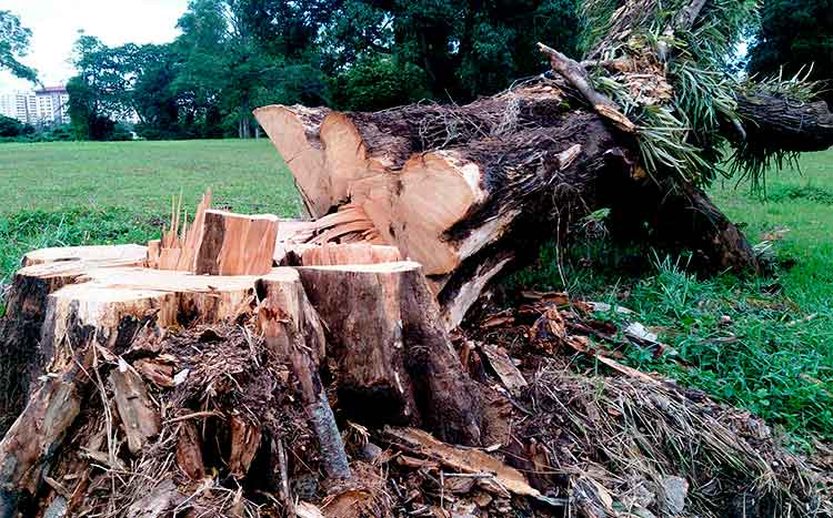 How soon can you plant a tree after cutting one down cut tree