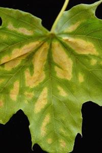 Verticillium Maple wilt