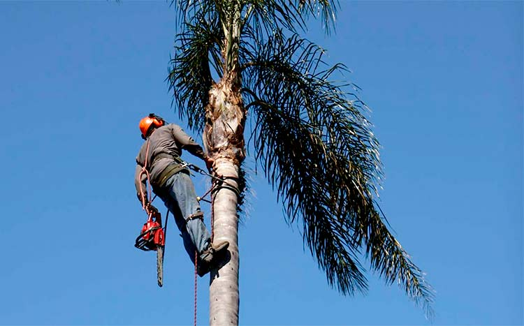 FAQ's Palm tree cleaning