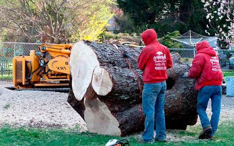 Large Tree Removal Cost in 2021   Calculate Prices Here