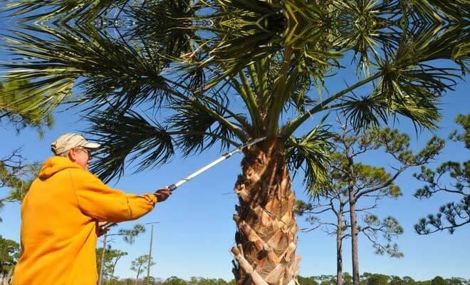 how to trim a palm tree