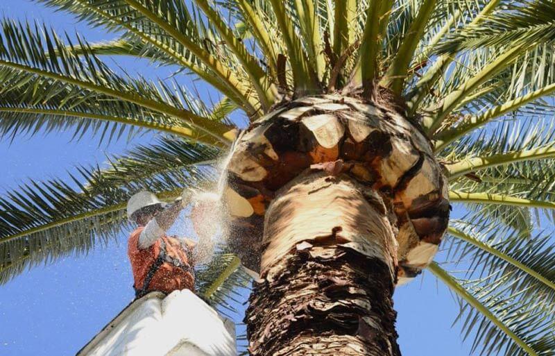 palm tree trimming fontana ca