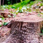 When should you grind a stump